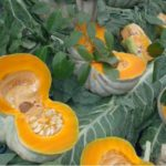 Pumpkin Juice to reduce Cholesterol, Blood Glucose, Lipids And Also Triglycerides